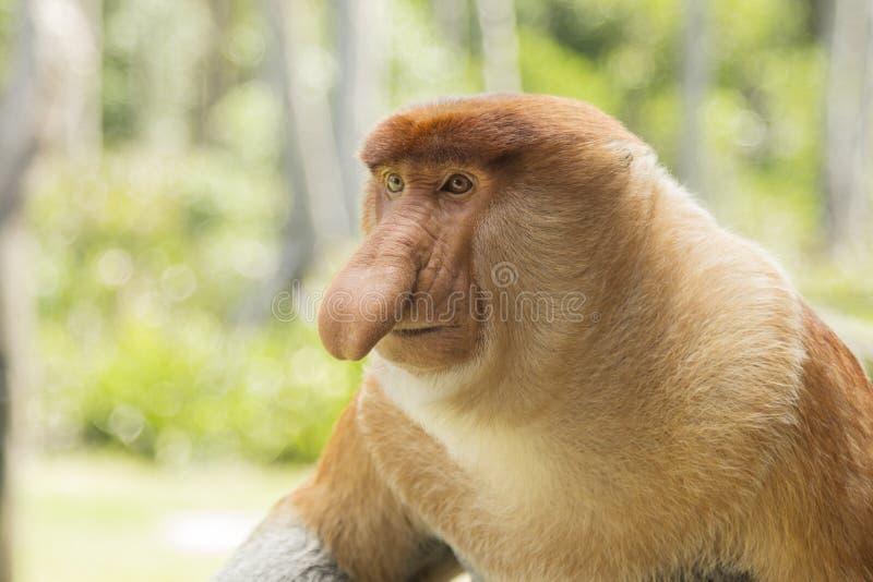 Trąbiasta małpa, samiec obraz royalty free