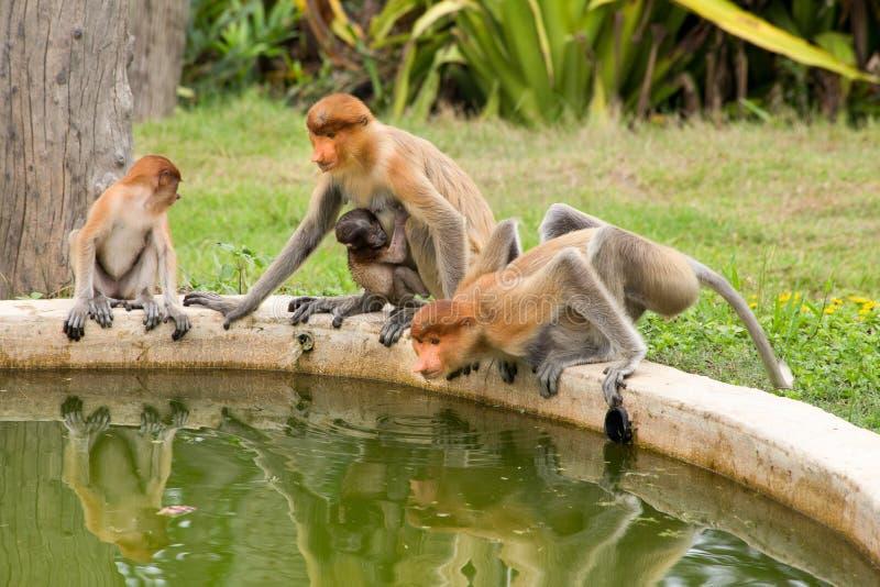 Trąbiaste małpy - Sandakan, Borneo, Malezja fotografia stock