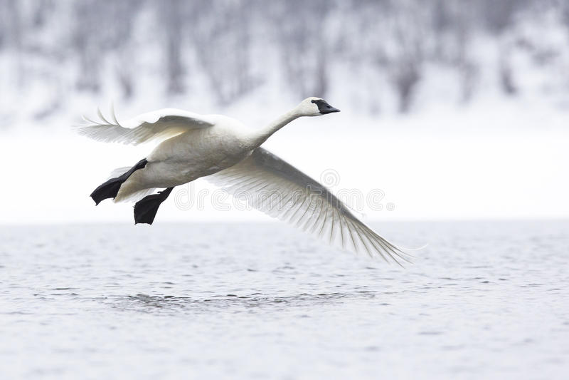 Trąbkarza łabędź latanie nad rzeka fotografia royalty free