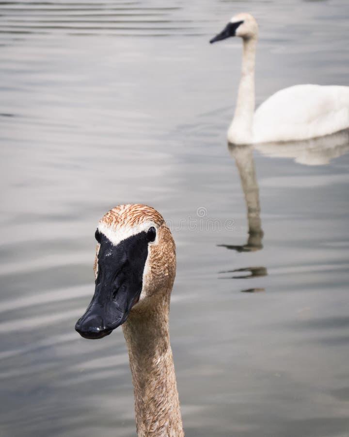 Trąbkarza łabędź para w jeziorze zdjęcie stock