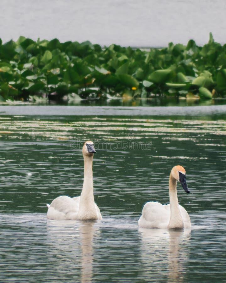 Trąbkarza łabędź para w jeziorze II obrazy royalty free