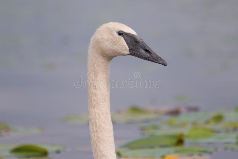 Trąbkarza łabędź portret z szczegółem piękny upierzenie, oko i belfer nabierający Crex łąki Wildlif, - przy końcówką lato - fotografia stock