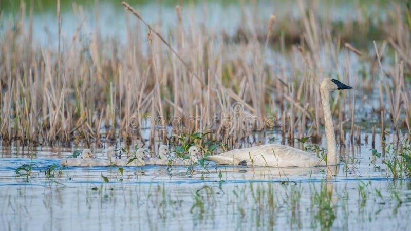 Trąbkarza łabędź rodzic na pięknym pogodnym wiosna dniu nabierającym Crex łąk przyrody teren - z ich ślicznymi dzieci łabędziątka obraz stock