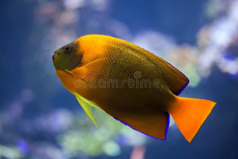 Trąbki angelfish (Holacanthus clarionensis) fotografia royalty free