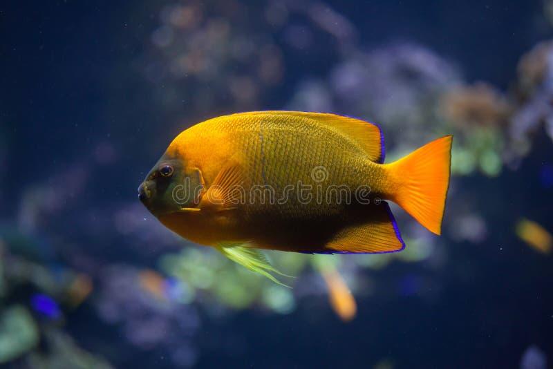 Trąbki angelfish Holacanthus clarionensis obraz royalty free