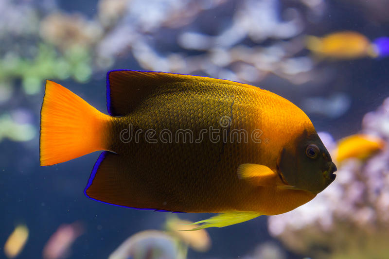 Trąbki angelfish Holacanthus clarionensis obrazy royalty free