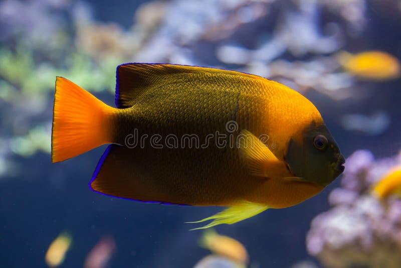 Trąbki angelfish Holacanthus clarionensis fotografia stock