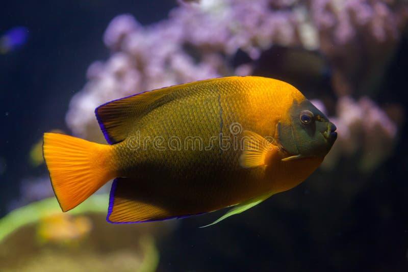 Trąbki angelfish Holacanthus clarionensis zdjęcia royalty free