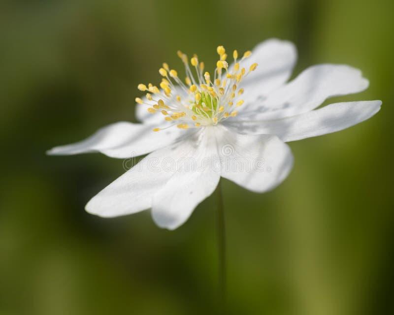Tr?anemon som gemensamt ?r bekant som Windflower Den delikata v?rblomman grundar oftast i skogsmarker best?mt i forntida tr?n arkivfoto