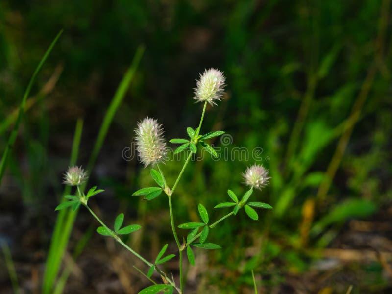 Tr?bol de Oldfield o primer de las flores del arvense del Trifolium con el fondo del bokeh, foco selectivo, DOF bajo imagenes de archivo