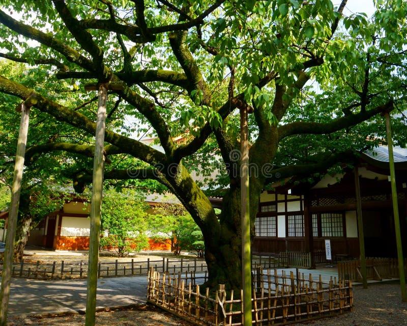 Tr?d i japansk tr?dg?rd Tunga gamla åldriga filialer stöttas av träpoler arkivfoton