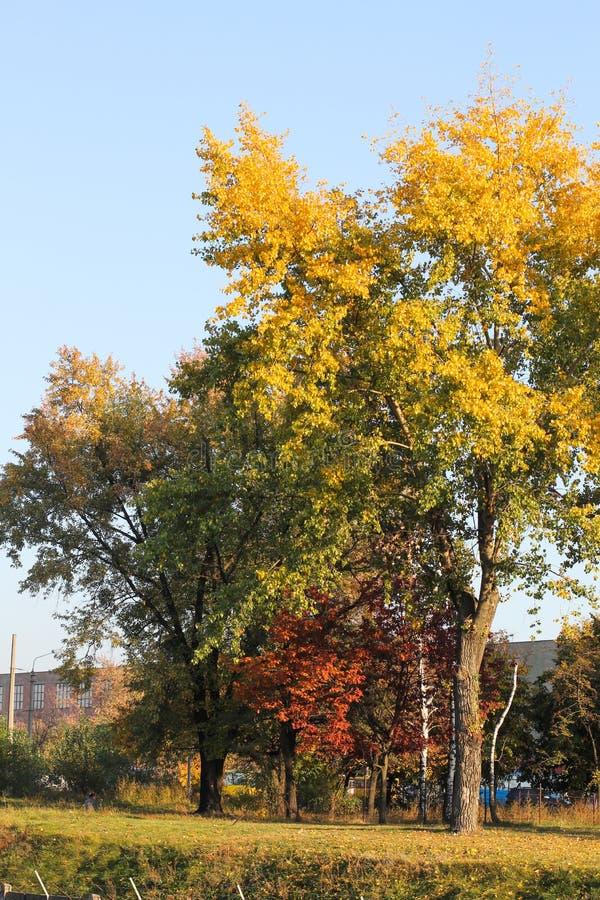 Tr?d med guld- sidor i h?st och solstr?lar trees f?r ?ng f?r h?stbj?rkleaves orange fotografering för bildbyråer