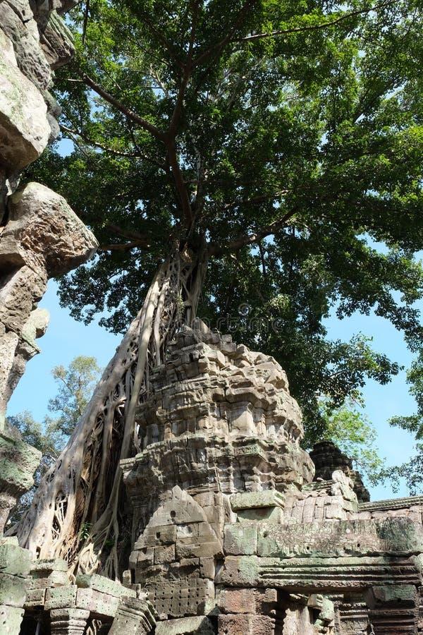 Tr?det rotar att v?xa ?ver templet f?r Ta Prohm, Angkor Wat, Cambodja forntida f?rd?rvar Tr?det rotar ?ver Taen Prohm Rajavihara, arkivbild