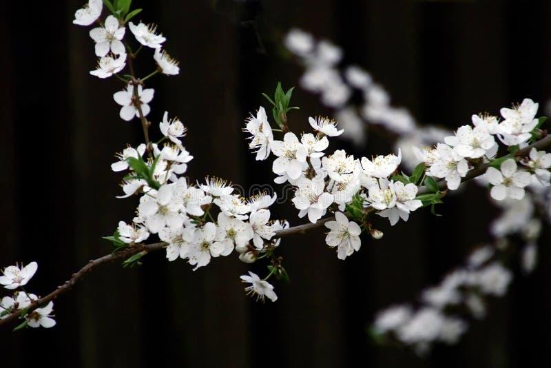 Tr?dg?rd i fj?dra En filial av den körsbärsröda plommonet med vita härliga blommor royaltyfri foto