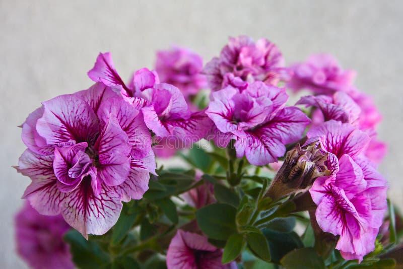 Tr?dg?rds- blommapetunia arkivfoto
