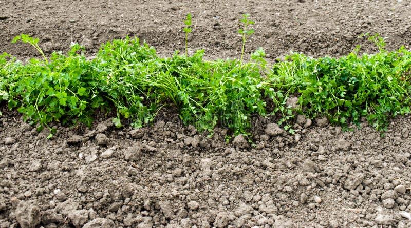 tr?dg?rds- parsley royaltyfri fotografi