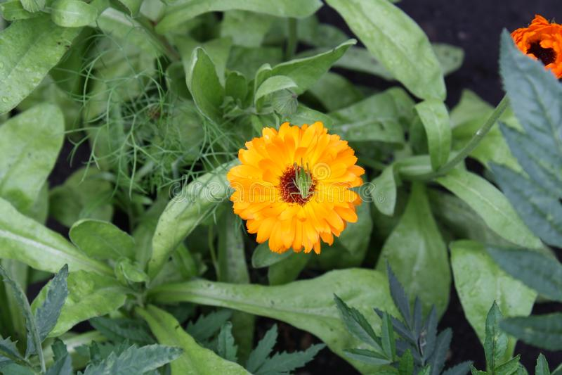tr?dg?rds- solros I mitten av blomman sitter en gräshoppa royaltyfria bilder