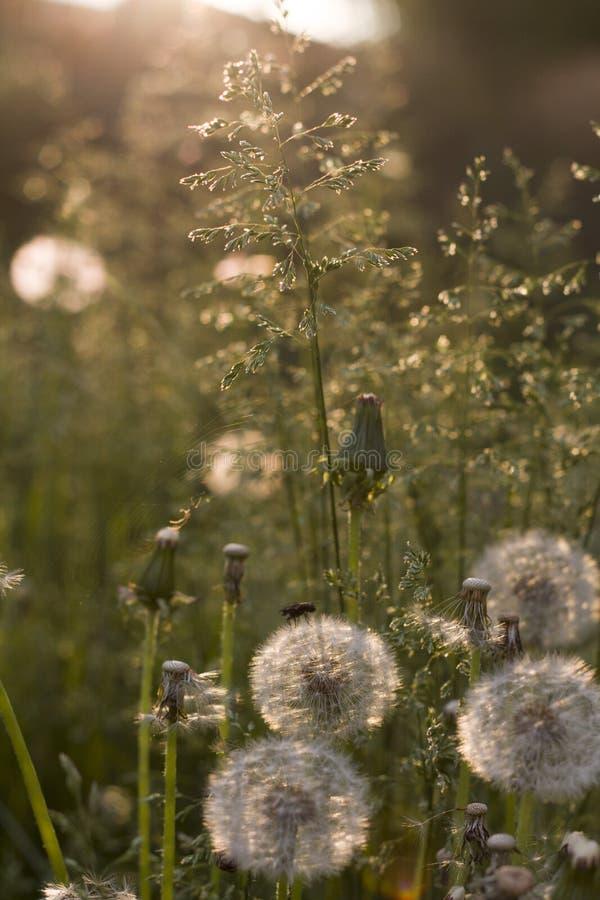 tr?dg?rds- sommar f?r blomningblommor Maskrosen blommar t?tt upp arkivbilder
