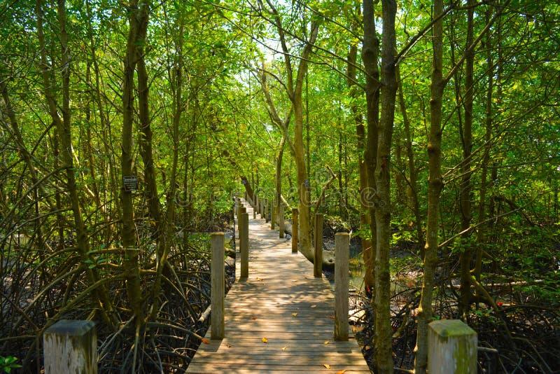 Tr?dtunnel i slinga f?r mangroveskognatur royaltyfri fotografi