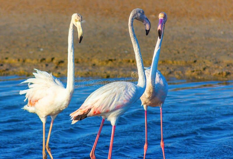 Tr?jk?t mi?osny r??owi flamingi w dennej lagunie fotografia stock