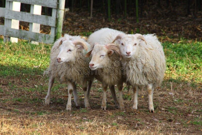 Tr?s carneiros imagem de stock royalty free