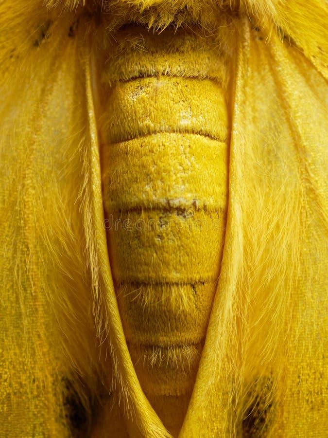 Traça amarela, preta, e branca no fim acima da asa, do abdômen, e do tórax no fundo branco imagem de stock royalty free