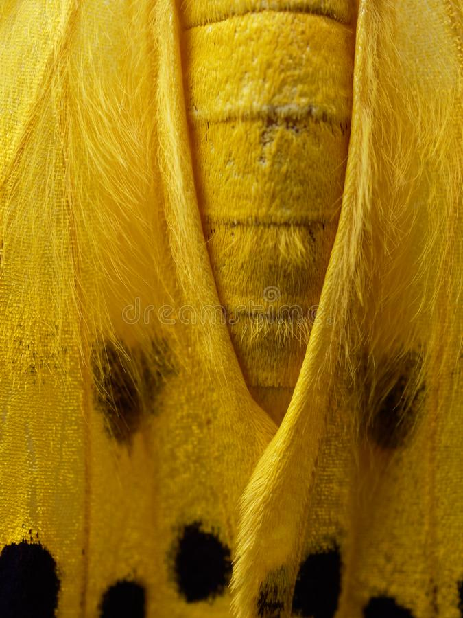 Traça amarela, preta, e branca no fim acima da asa, do abdômen, e do tórax isolado no fundo branco imagens de stock royalty free