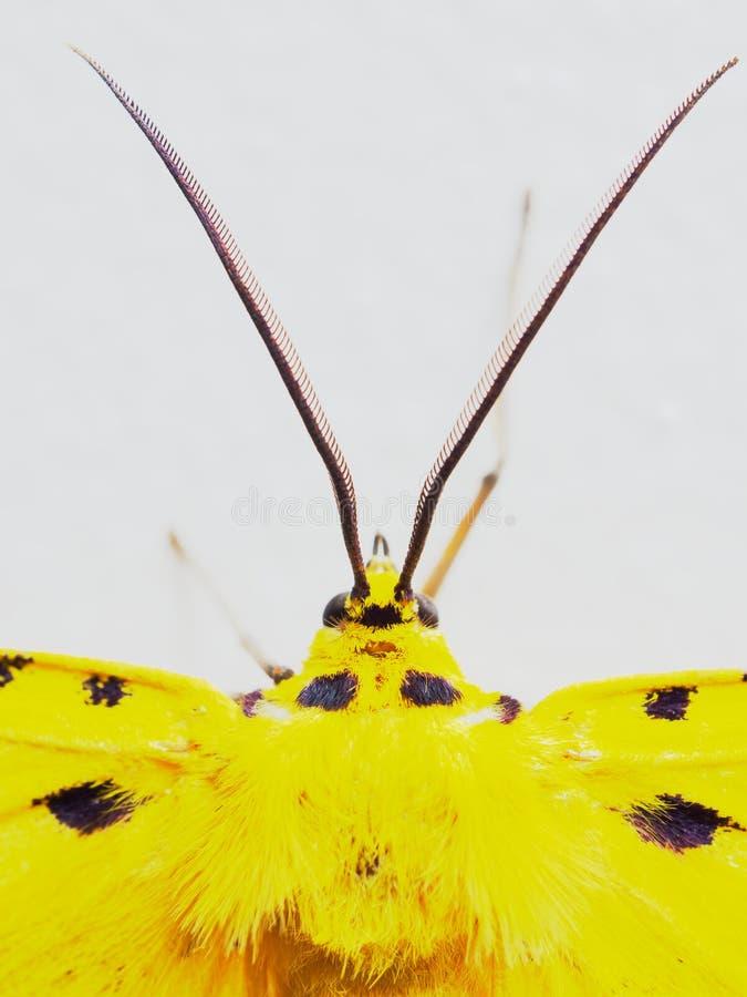 Traça amarela, preta, e branca no fim acima da cabeça, das antenas, e do tórax isolado no fundo branco foto de stock