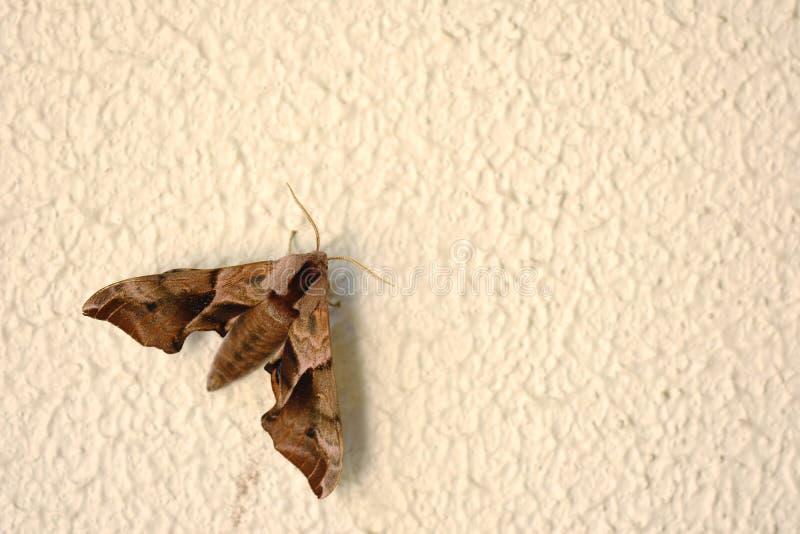 Traça de Brown na parede foto de stock