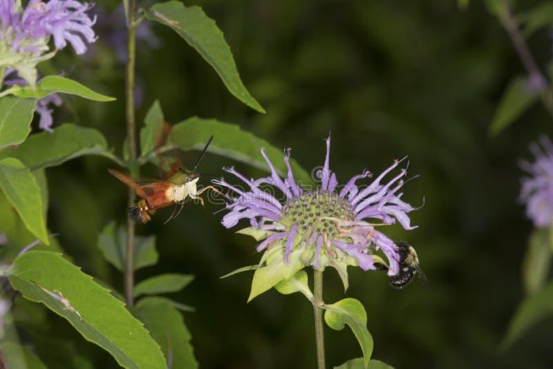 A traça de colibri paira ao forragear no fluxo do bálsamo de abelha da alfazema fotografia de stock