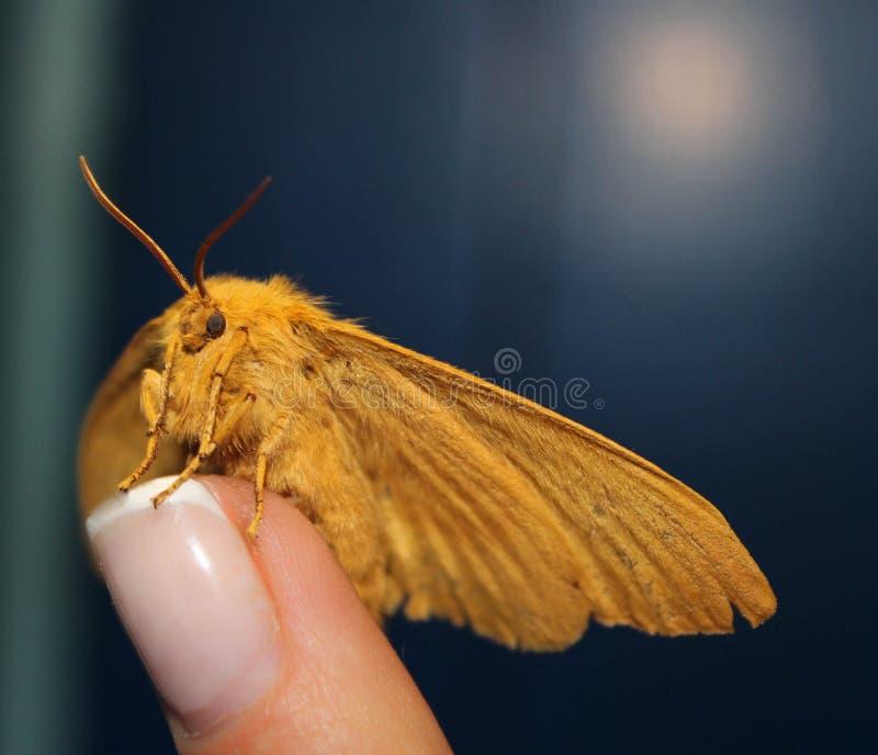 Traça disponível, borboleta bonita da noite em uma mão fêmea em um fundo azul fotos de stock