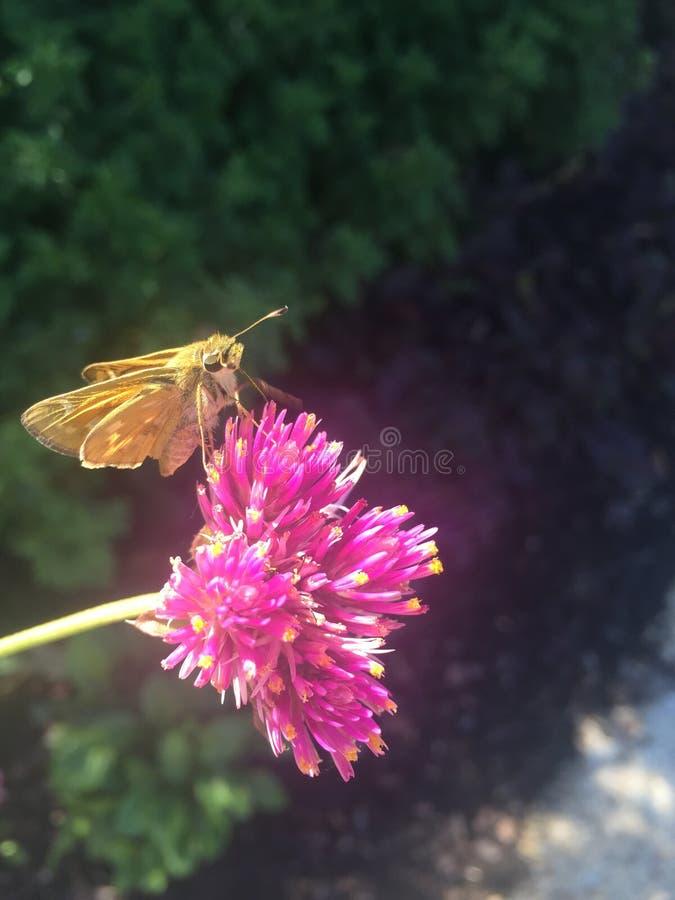 Traça em uma flor cor-de-rosa fotografia de stock royalty free