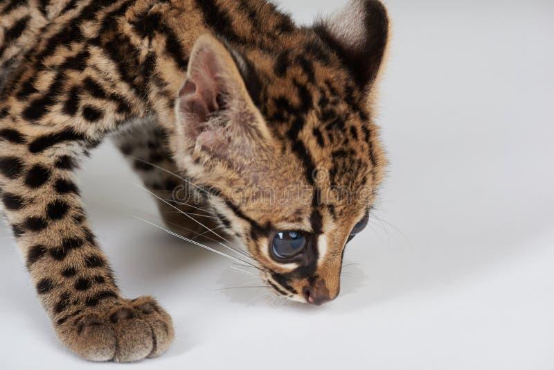 Traço selvagem do cheiro do gato imagem de stock