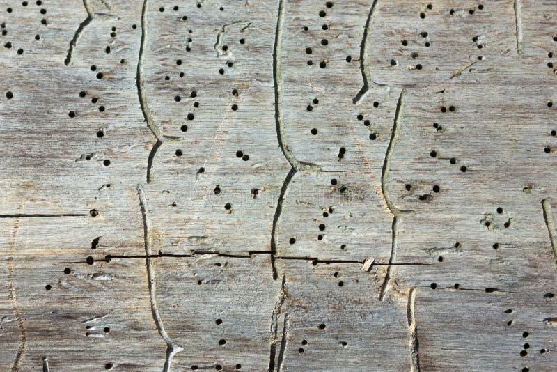 Traços de besouros de casca em um tronco de árvore velho imagem de stock royalty free