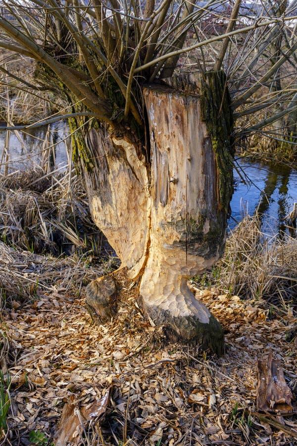 Traços de dentes dos castores em um fim da árvore acima na perspectiva do rio azul da mola imagem de stock