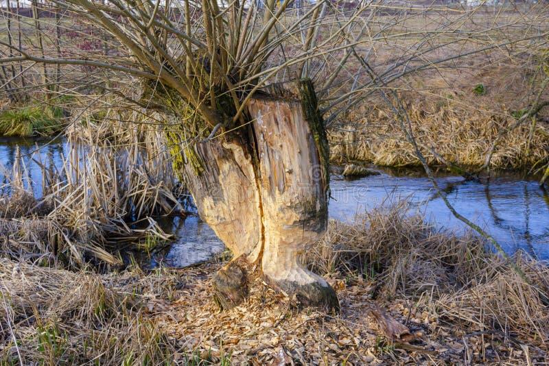 Traços de dentes dos castores em um fim da árvore acima na perspectiva do rio azul da mola foto de stock