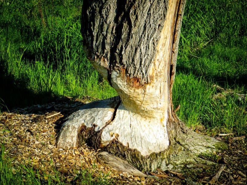 Traços de um castor em uma árvore foto de stock royalty free