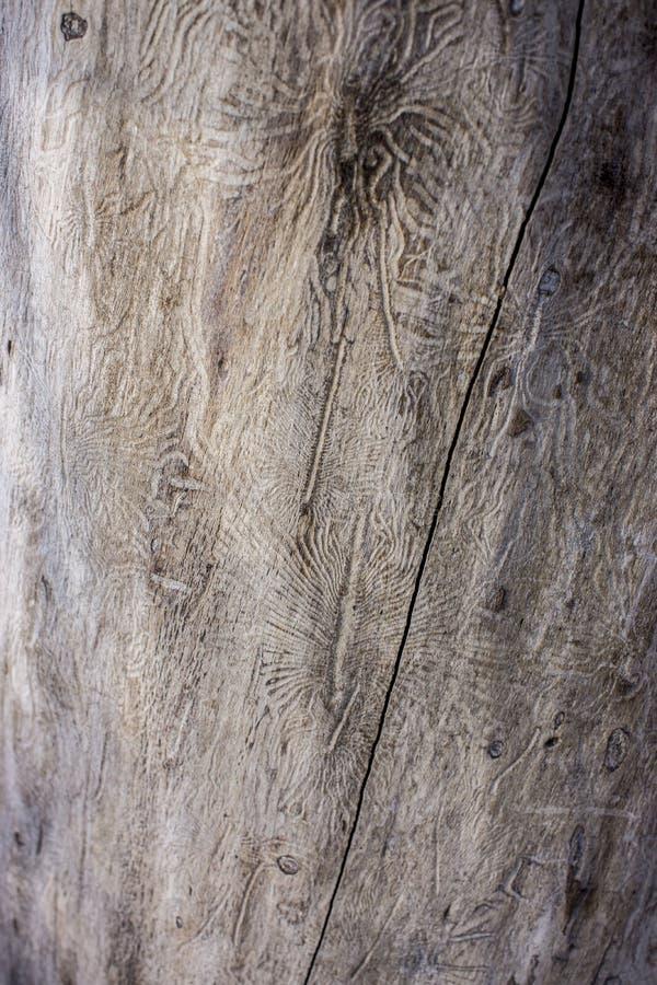 Traços de uma praga em uma casca de árvore fotografia de stock royalty free
