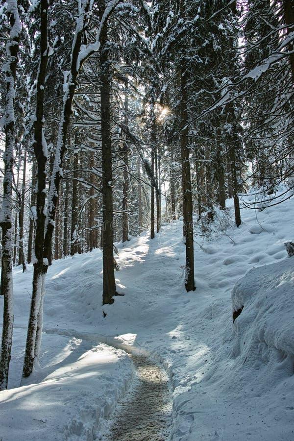 Traînée dans le paysage neigeux de forêt photos stock