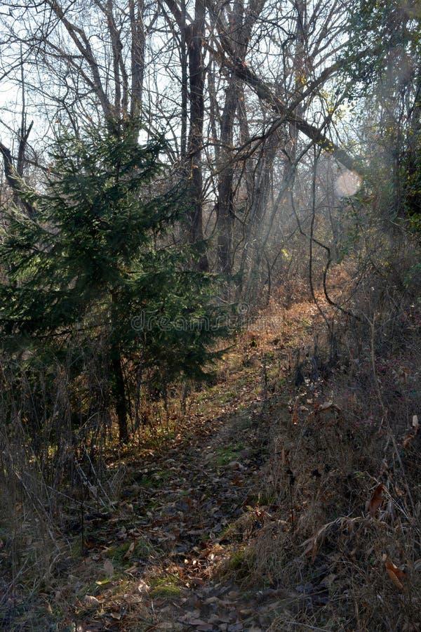 Traînée de cerfs communs en bois profonds photographie stock