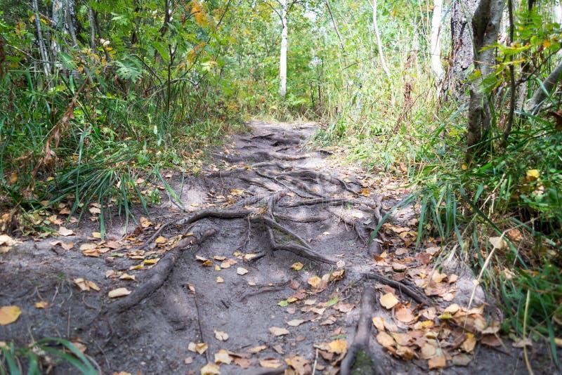 Traînée de forêt avec des racines et des feuilles de jaune image libre de droits
