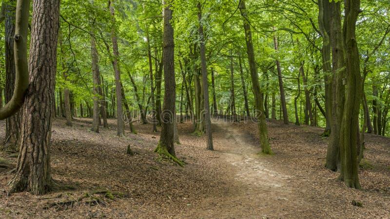 Traînée de forêt par les arbres grands avec le vert photographie stock libre de droits