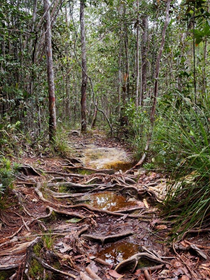 Traînée de Lintang en parc national de Bako, Bornéo, Malaisie images libres de droits