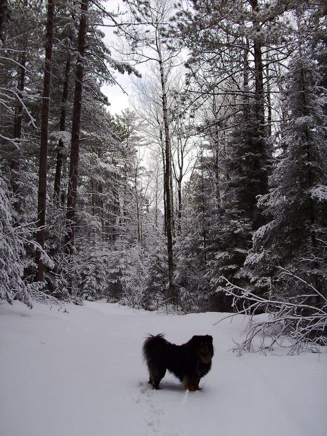 Traînée de marche Minnesota de chien photos stock