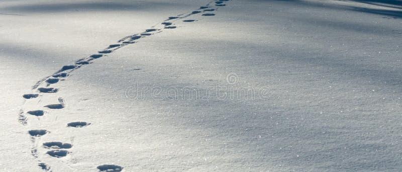 Traînée des voies de loup dans la neige fraîche photo stock