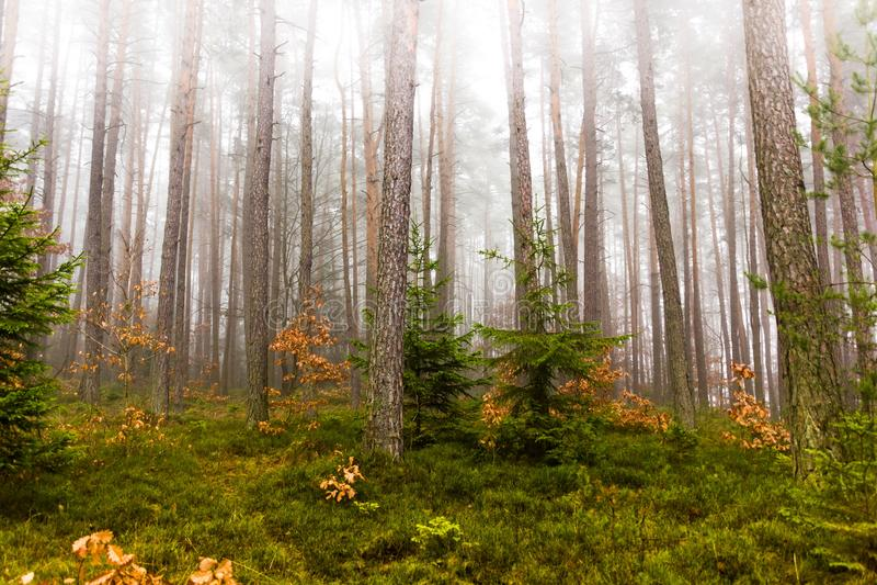 Traînée par une forêt mystérieuse en brouillard photographie stock libre de droits