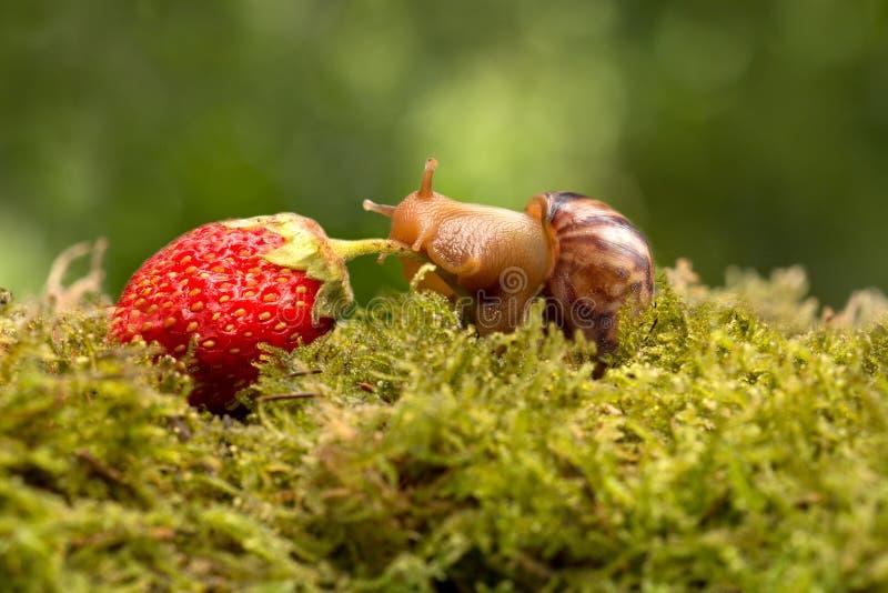Traînées d'escargot des fraises mûres sur l'herbe verte images stock
