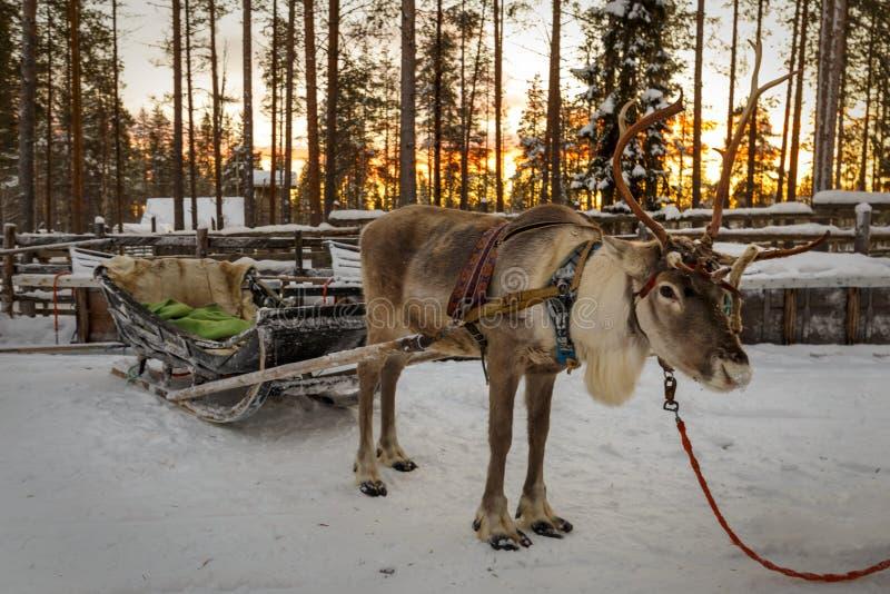Traîneau dessiné par renne pendant l'hiver images libres de droits