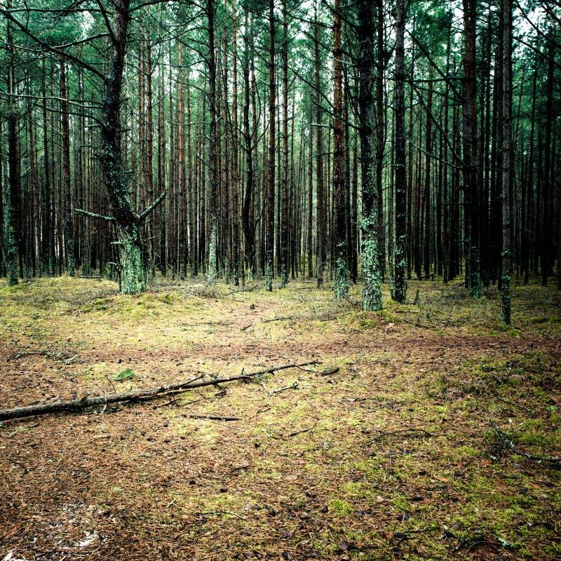 Traînez dans la forêt de pin d'hiver - effe instantané de film de vintage photo stock