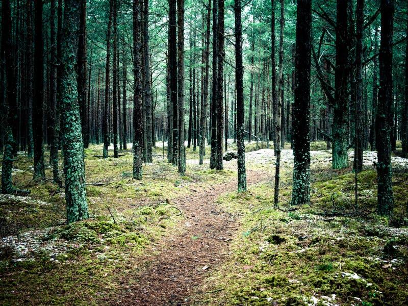 Traînez dans la forêt de pin d'hiver - effe instantané de film de vintage images libres de droits